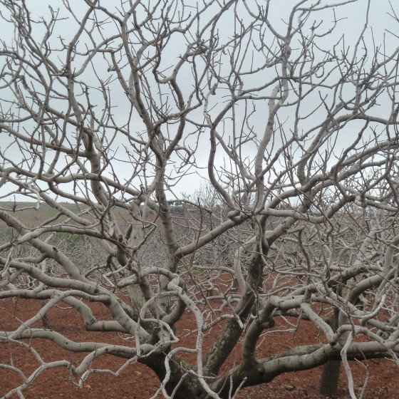 Matt Krause - pistachio tree near Gaziantep